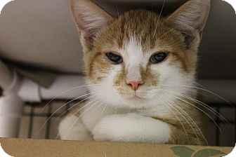 Domestic Shorthair Kitten for adoption in Medina, Ohio - Dewey