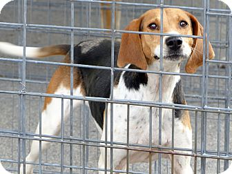 Treeing Walker Coonhound Dog for adoption in Marlinton, West Virginia - Rosie--RESCUED!