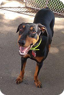 Doberman Pinscher Dog for adoption in New Richmond, Ohio - Kiwi--pending