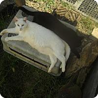 Domestic Shorthair Cat for adoption in Dugspur, Virginia - Casper