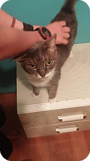 Domestic Shorthair Cat for adoption in Barnegat, New Jersey - Holly