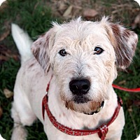 Jack Russell Terrier/Airedale Terrier Mix Dog for adoption in Youngsville, North Carolina - Bubba ~Reduced Adoption Fee~