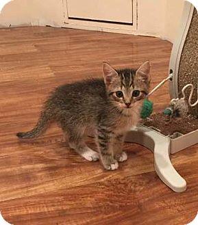 Domestic Shorthair Kitten for adoption in Edinburg, Pennsylvania - 2 male kittens