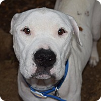 Adopt A Pet :: BENTLEY - Waterbury, CT