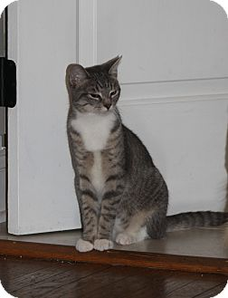 Domestic Shorthair Kitten for adoption in Hayes, Virginia - Stitch