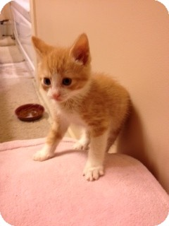 Domestic Mediumhair Kitten for adoption in Huntsville, Ontario - Bosley -ADOPTED