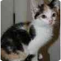 Adopt A Pet :: Sicily - Arlington, VA
