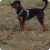 Adopt A Pet :: Roxy - Gig Harbor, WA