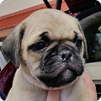 Adopt A Pet :: Joaquin - 3/4 pug pup! - Phoenix, AZ