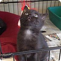 Adopt A Pet :: Baloo - Island Park, NY