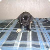 Adopt A Pet :: Candi Adoption pending - East Hartford, CT