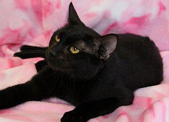 Domestic Shorthair Cat for adoption in Greensboro, North Carolina - Ebony