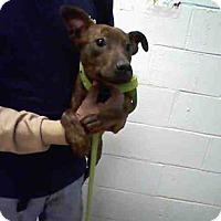 Adopt A Pet :: GINA - Atlanta, GA
