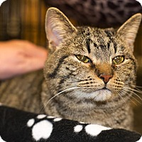 Domestic Shorthair Cat for adoption in Mooresville, North Carolina - A..  Dolly