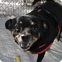 Adopt A Pet :: Doogie - Boca Raton, FL