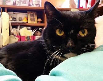 Domestic Shorthair Cat for adoption in Oakland, New Jersey - Suri
