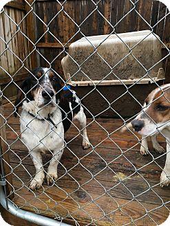 Beagle/Basset Hound Mix Dog for adoption in Triangle, Virginia - Daisy