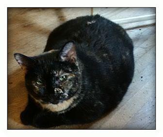Domestic Shorthair Cat for adoption in london, Ontario - Twix
