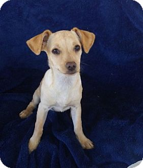Chihuahua/Dachshund Mix Dog for adoption in Temecula, California - Rose