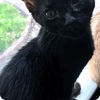 Domestic Shorthair Kitten for adoption in Mount Laurel, New Jersey - Havana
