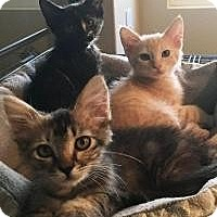 Adopt A Pet :: Creamsycle and Lexee - Mission Viejo, CA