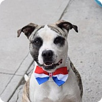 American Pit Bull Terrier Dog for adoption in Ridgefield, Connecticut - Osirus