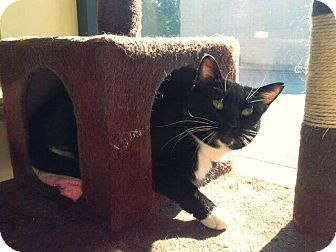 Domestic Shorthair Cat for adoption in Leonardtown, Maryland - Lily (Fancy)