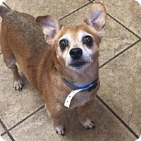 Chihuahua Mix Dog for adoption in Joplin, Missouri - Taco Vtg  4477