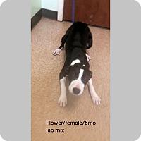 Adopt A Pet :: Flower - Sudbury, MA