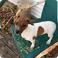 Jack Russell Terrier Mix Puppy for adoption in Newport, Kentucky - April