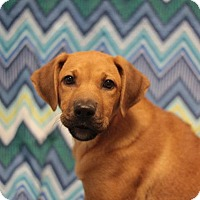 Labrador Retriever Mix Puppy for adoption in Murphysboro, Illinois - Briar