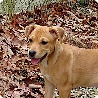 Adopt A Pet :: Nutmeg - Manchester, NH