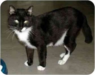 Domestic Shorthair Cat for adoption in New Port Richey, Florida - Hobo