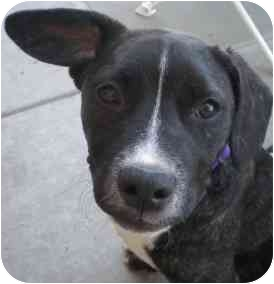 American Pit Bull Terrier Mix Dog for adoption in Wylie, Texas - Merryweather
