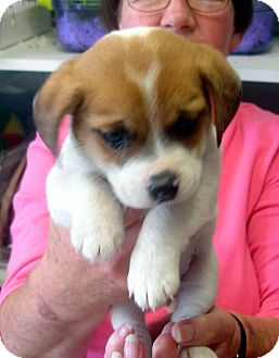Beagle/Chihuahua Mix Puppy for adoption in baltimore, Maryland - Reece