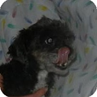 Adopt A Pet :: Winnie the Poodle ADOPTED!! - Antioch, IL