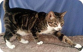 Domestic Mediumhair Cat for adoption in Orange City, Florida - Rico