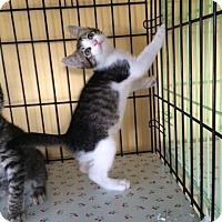 Adopt A Pet :: Ronnie - Island Park, NY