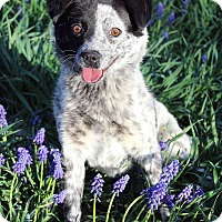 Adopt A Pet :: Bailey - Westminster, CO