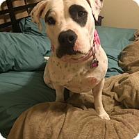Adopt A Pet :: ZOEY 7 - Chandler, AZ