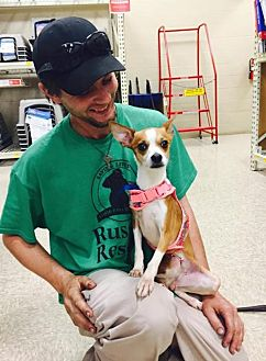 Jack Russell Terrier/Chihuahua Mix Dog for adoption in Columbia, Tennessee - Sarah Jane