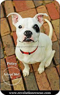 Boxer Mix Puppy for adoption in Lincoln, Nebraska - Petey