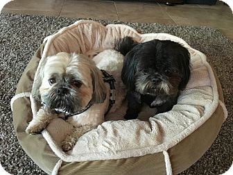 Shih Tzu Mix Dog for adoption in Palm Harbor, Florida - Ozzie & Colby