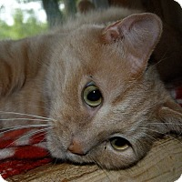 Domestic Shorthair Cat for adoption in Stafford, Virginia - Sammy