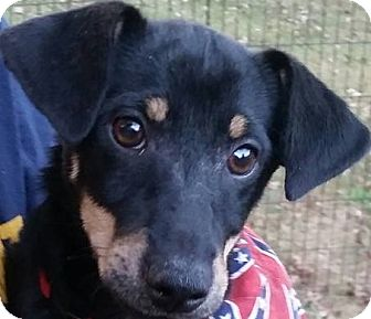 Chihuahua/Dachshund Mix Puppy for adoption in Newnan, Georgia - JR