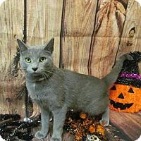 Domestic Shorthair Cat for adoption in Waldorf, Maryland - Gabbie