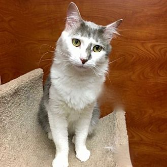 Turkish Van Cat for adoption in Long Beach, New York - Dion