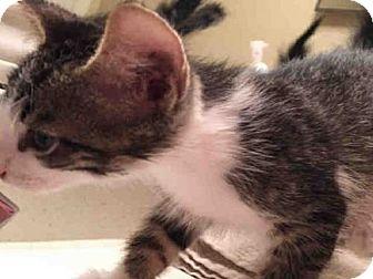 Domestic Mediumhair Cat for adoption in San Antonio, Texas - A395686