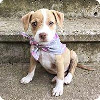 Adopt A Pet :: Bianca - Racine, WI