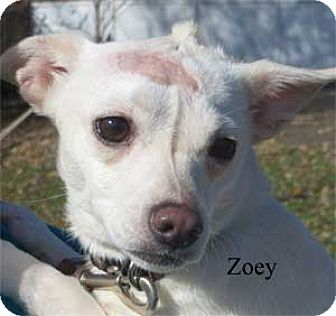 Jack Russell Terrier Mix Dog for adoption in Warren, Pennsylvania - Chloe